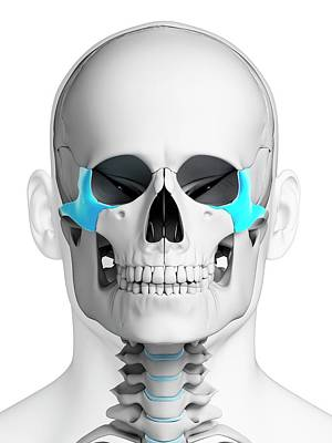 Biomedical Illustration Photograph - Human Skull by Sebastian Kaulitzki