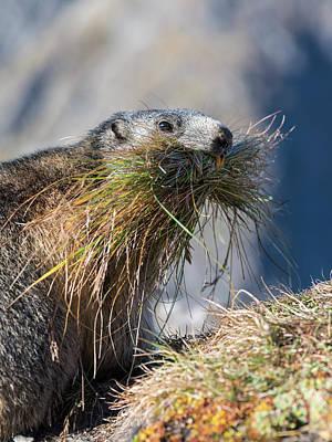 Alpine Marmot (marmota Marmota Print by Martin Zwick
