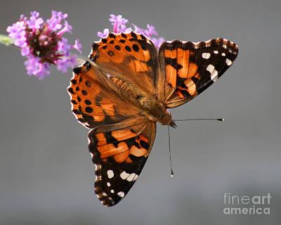 American Painted Lady Butterfly Print by Karen Adams