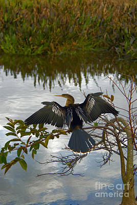 Anhinga Photograph - Anhinga by Mark Newman