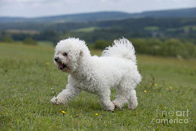 Dog Trots Photograph - Bichon Frise by John Daniels