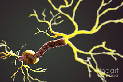 Bipolar Photograph - Bipolar Neuron by Science Picture Co