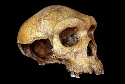 Rhodesian Photograph - Broken Hill Skull by Natural History Museum, London