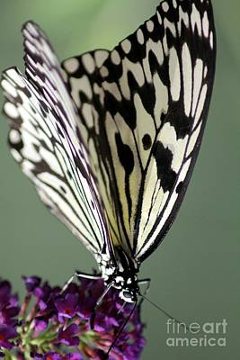 Butterfly Print by Diane Greco-Lesser