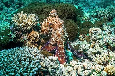 Octopus Photograph - Day Octopus Hunting On A Reef by Georgette Douwma