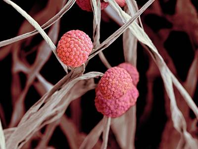 Fungal Cells Print by Science Photo Library