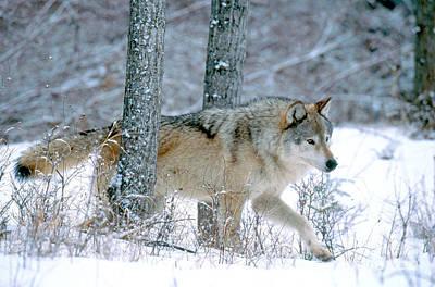 Wolf Photograph - Gray Wolf by Art Wolfe