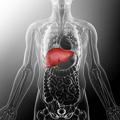 Liver Photograph - Human Liver And Gall Bladder by Pixologicstudio