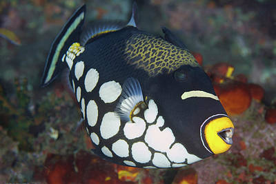 Triggerfish Photograph - Indonesia, Papua, Raja Ampat by Jaynes Gallery