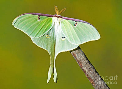 Luna Moth Print by Millard H. Sharp