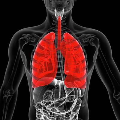 Airways Photograph - Lungs by Sebastian Kaulitzki
