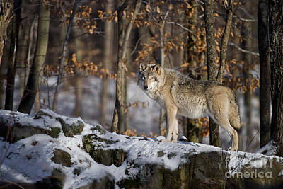 Dog Pics Photograph - Timber Wolf Pictures by Wolves Only