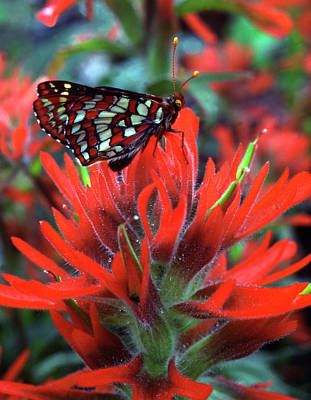 Checkerspot Photograph - Usa, Oregon, Mt Hood National Forest by Jaynes Gallery