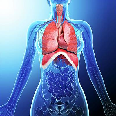 Biomedical Illustration Photograph - Human Respiratory System by Pixologicstudio