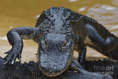 American Alligator Print by Mark Newman