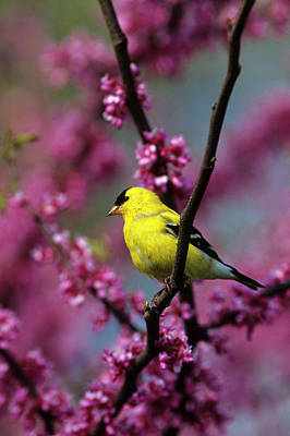 Redbud Photograph - American Goldfinch (carduelis Tristis by Richard and Susan Day