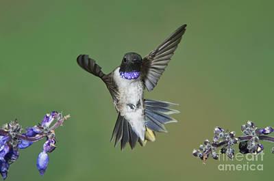 Black-chinned Hummingbird Print by Anthony Mercieca