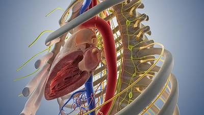 Heart Illustration Photograph - Cardiovascular System, Artwork by Science Photo Library