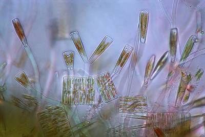 Diatom Photograph - Diatoms, Light Micrograph by Science Photo Library