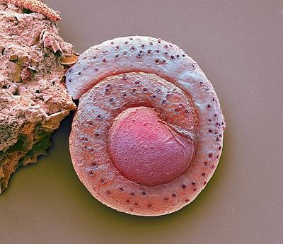 Foraminiferan Print by Steve Gschmeissner