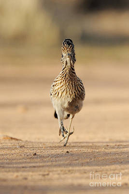 Roadrunner Photograph - Greater Roadrunner by Scott Linstead