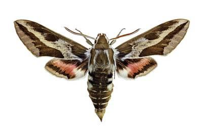 Hawk Moth Print by F. Martinez Clavel