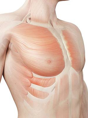 Human Chest Muscles Print by Sebastian Kaulitzki