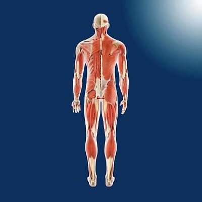 Human Musculature Print by Springer Medizin