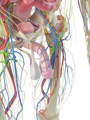 Human Penis Print by Sciepro