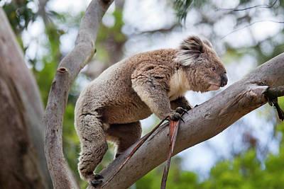 Koala Photograph - Koala (phascolarctos Cinereus by Martin Zwick