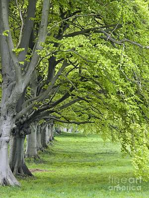 Mature Beech Trees Fagus Sylvatica Print by Adrian Bicker