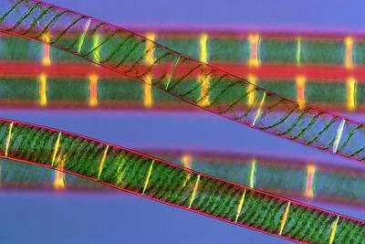 Spiral Photograph - Spirogyra Algae by Marek Mis