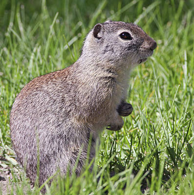 Gather Photograph - A Belding's Ground Squirrel On Alert by William Sutton