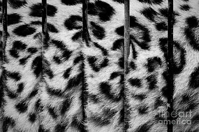 Cat Photograph - A Big Cat In Cage Its Fur Behind Zoo Bars Captivity by Michal Bednarek