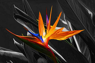 Flower - A Bird In Paradise Print by HH Photography of Florida