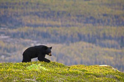 A Black Bear Foraging For Berries Near Print by Michael Jones