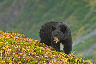 A Black Bear Foraging For Berries On A Print by Michael Jones