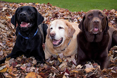 Property Released Photograph - A Black, Yellow, And Chocolate Labrador by Jaynes Gallery