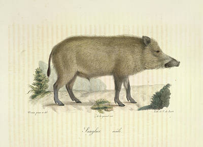 Wild Hogs Photograph - A Boar by British Library