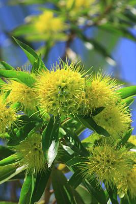 Wattle Photograph - A Bright Yellow Wattle Tree In Suburban by Paul Dymond