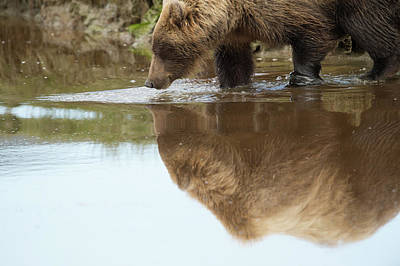 A Brown Bear, Ursus Arctos, Reflected Print by Bob Smith