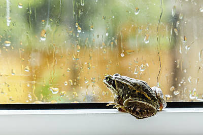 Rainy Day Photograph - A Brown Frog Sits On A Window Ledge by Alanna Dumonceaux