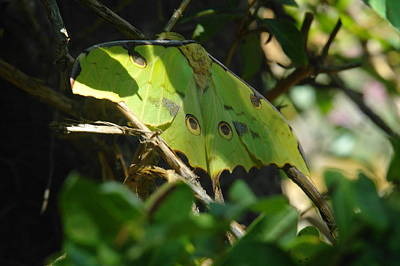 Luna Photograph - A Buttterfly Resting by Jeff Swan