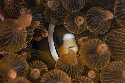 Clarks Anemonefish Photograph - A Clarks Anemonefish Nuggles by Ethan Daniels