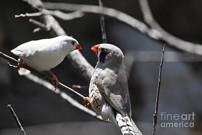Finch Photograph - A Couple by Douglas Barnard