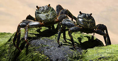 A Couple Of Crabs Brazil Print by Bob Christopher