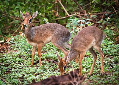 Wild Animals Photograph - A Couple Of Dik-dik Antelopes In Tanzania. Africa by Michal Bednarek