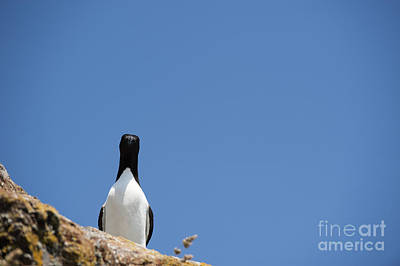 Razorbill Photograph - A Curious Bird by Anne Gilbert