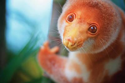Cute Tree Images Photograph - A Cuscus  Papua New Guinea Tree Possum by David Kirkland