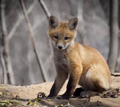 A Cute Kit Fox Portrait 1 Print by Thomas Young